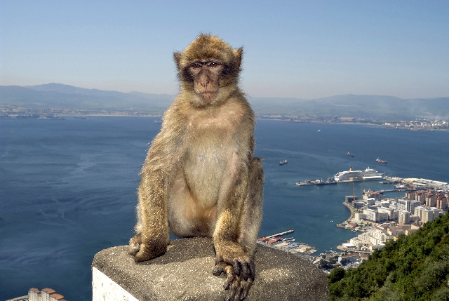 Monkey at Gibraltar